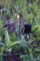 Красный и жёлтый тюльпан Шренка Дикие тюльпаны в степи