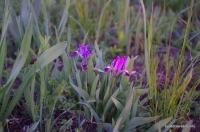 Дикие ирисы в степи Цветение диких ирисов в полях